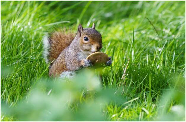 Can Squirrels Eat Mushrooms
